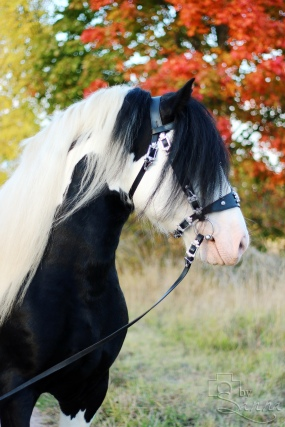Irish Cob hingsten Herkules Isak